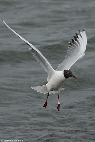 Black-headed Gull, adult, W[E5ER]