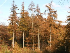Larches in autumn (Isabella Perry) Tags: autumn england tree woodland woods hampshire larch naturesfinest athousandwords chawtonparkwoods flickrelite
