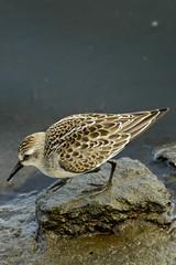 Semipalmated Sandpiper, Plum Island, MA (flyingibis) Tags: