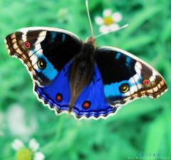 Spring's Bride (Cotex) Tags: macro colors butterfly insect bride spring cortex naturesfinest 25faves abigfave abigfav aplusphoto top20blue ysplix top20vivid