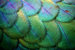 Feathers (Chapple.stephen) Tags: green bird feathers peacock mywinners colourartaward clevercreativecaptures