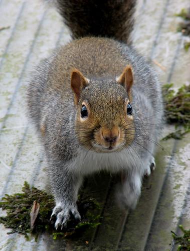 Grey squirrel closeup