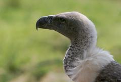vulture portrait (AnyMotion) Tags: 2005 africa travel bird nature birds animals southafrica reisen vultures afrika vulture sdafrika rsa anymotion portraitaufnahmen