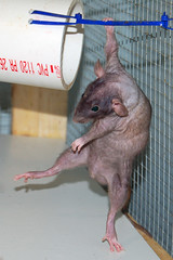 Giovanni 120407 02 (KristyR929) Tags: pet cute rat dumbo rats patchwork hairless giovanni acrorat