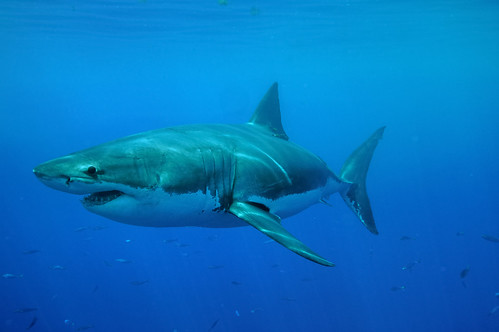Great White Shark Side On off Guadalupe Island, Mexico