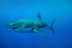 Great White Full Body (ScottS101) Tags: danger mexico shark pacific jaws guadalupe dorsal predator allrightsreserved carcharodon requim copyrightscottsansenbach2008