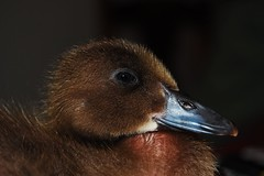 Little Quacker (L1bby Smith) Tags: baby bird duck duckling australia anawesomeshot