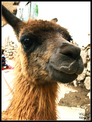 Dalai Lama (el.nalga@gmail.com) Tags: animal inca canon is photo llama picture per greatshot lama hermoso goodshot interesante peruvian beutiful fotografa smrgsbord guanaco 720 greatcapture goodcolours perfectshot auqunido nalgaman goodcarpture