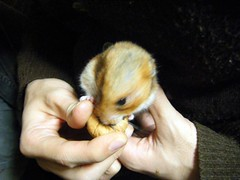 20071229 - 02 (kayako_) Tags: hamster pon