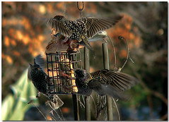 An All Out Attack (dee_r) Tags: birds soe starlings abigfave shieldofexcellence platinumphoto anawesomeshot superbmasterpiece goldenphotographer theperfectphotographer winter2008