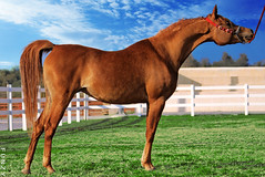 Kuwait Arabian Horse (Fawaz Al Nashmi) Tags: horse pet animal superb arab kuwait arabian masterpiece fawaz  funzy supershot    platinumphoto superbmasterpiece diamondclassphotographer alnashmi funzyclick