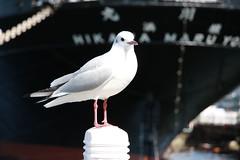 Yokohama Bird- I call her Maru-chan (kurokojpn) Tags: japan tokyo orlando   kuroko canon40d photosjapan kurokoshiroko kuroko01 kurokoshiroko photographytokyo photostokyo bestoftokyo tokyobest orlandojpn thetokyopost kurokojpn