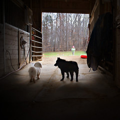 home on the farm (sesame ellis) Tags: barn virginia nikon farm mykid schipperke maltese d3 mydogs racheldevine wwwracheldevinecom theirnewhome itisgoingtobesostrangetobewithoutanyanimalsnow theyarehappyhere