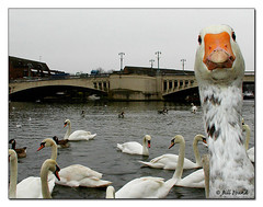 Nosey Goose (Recycled Teenager (NORFOLK IMAGES)) Tags: bird nature birds reading bride geese feeding wildlife goose swans berkshire caversham wildfowl greylag fpc blueribbonwinner golddragon cavershambridge platinumphoto goldstaraward cavershampromenade