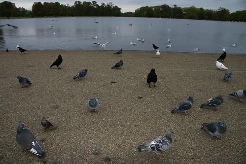 Hyde Park Birds