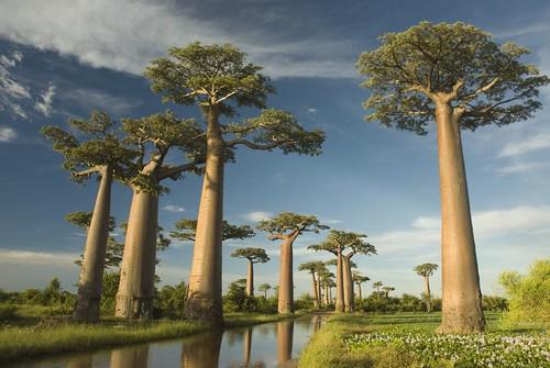 Baobab avenue by Taishi.M