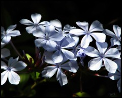 Plumbago auriculata (Mary Trebilco) Tags: flowers blue canon blues powershot explore handheld plumbago babyblue droughttolerant 12xzoom dappledlight plumbagoauriculata canonpowershots3is mytassiegarden naturaldappledlight