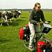 La vacas persiguiendo a Harry