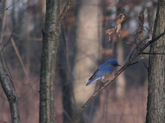 Bluebird (Jeremy Roof) Tags: bird nature canon michigan annarbor bluebird galluppark excellentphotographersaward s5is