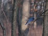 Bluebird (Jeremy Roof) Tags: bird nature canon michigan annarbor bluebird galluppark excellentphotographersaward s5is