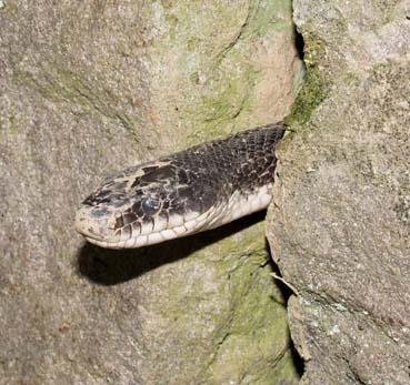SnakeInWall1