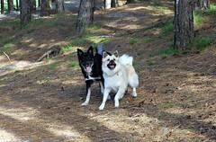 Shiloh & Tyr: Icelandic Sheepdogs