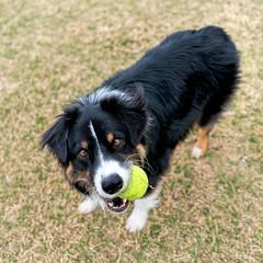 7/52 - Having A Ball (jayvan) Tags: dash aussie australianshepherd dog play tennisball happy dogpark phoenix arizona sony 52wfd 52weeksfordogs
