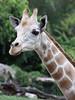 Baby Giraffe (FLPhotonut) Tags: baby nature giraffe calf canon75300 buschgardenstampa potofgold canon50d theperfectphotographer flphotonut
