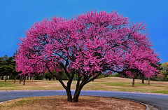 Meadowlake Redbud (Jeff Clow) Tags: color tree oklahoma nature spring redbud meadowlakepark enidoklahoma jeffrclow