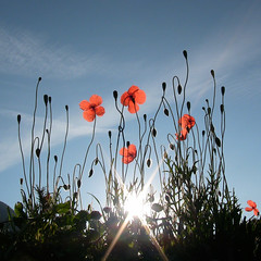 poppies sunrise (C-Smooth) Tags: morning blue light red summer sky italy sun fleur sunshine sunrise contraluz square petals poetry blossom quote poppy poppies bloom dreamlike 18200 papaveri pavot evocative 2011 macronature