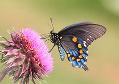 Pipevine Swallowtail (DrPhotoMoto) Tags: butterfly thistle northcarolina swallowtail richmondcounty tfi pipevineswallowtail battusphilenor ellerbe thinfilminterference afjranch frequencywaves opticalactivity