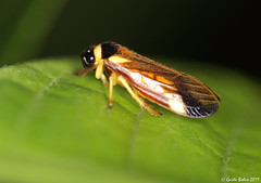 Froghopper from a W-Javan mountain rainforest (gbohne) Tags: closeup canon bug insect indonesia java rainforest flash insects insekt animalia arthropoda insekten unidentified insecta regenwald truebugs hemiptera taxonomy:class=insecta taxonomy:family=cercopidae taxonomy:phylum=arthropoda taxonomy:order=hemiptera taxonomy:suborder=auchenorrhyncha geo:country=indonesia 100mmf28canon taxonomy:subphylum=hexapoda taxonomy:infraorder=cicadomorpha taxonomy:superfamily=cercopoidea rundkopfzikaden geo:region=asia stirnzikaden