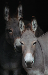 A pair of donkeys
