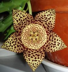 "Spotted ""star""... (maya_dragonfly) Tags: flower macro nature star flora olympus greenhouse pottedplant botany succulents orbeavariegata spottedflower stapeliads autumn07"