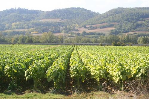 Sunlit tobacco