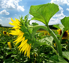 Br elreplhetnk / I want to fly away (ssshiny) Tags: sky cloud flower yellow sunflower agriculture g felh virg napraforg blueribbonwinner srga mywinners flowerpicturesnolimits frhwofavs naturewatcher mezgazdasg