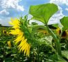 Bár elrepülhetnék / I want to fly away (ssshiny) Tags: sky cloud flower yellow sunflower agriculture ég felhő virág napraforgó blueribbonwinner sárga mywinners flowerpicturesnolimits frhwofavs naturewatcher mezőgazdaság