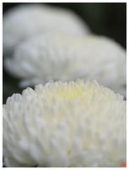 Chrysanthemum 071029 #02