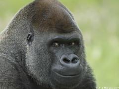 Lowland gorilla 'Boumi' (gentle lemur) Tags: gorilla silverback portlympne
