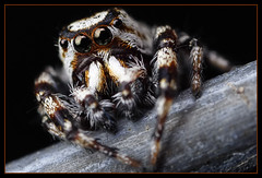 jumping spider on fence wire (Mundo Poco) Tags: macro canon spider arachnid rebelxt eos350d jumpingspider naturesfinest mpe65mm macrofoted themacrogroup