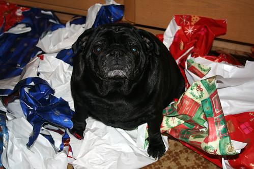Xmas wrap paper pug