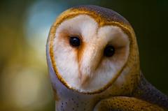 Barn Owl (kotobuki711) Tags: rescue bird barn florida owl fl prey barnowl rescued audubon blueribbonwinner anawesomeshot avianexcellence theperfectphotographer