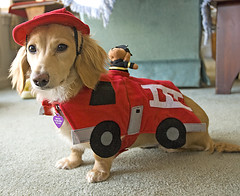 Side view of Firetruck Honey (Doxieone) Tags: red dog cute english fall halloween hat costume long dress cream dachshund firetruck honey blonde fireman haired 31 coll fogarty longhaired honeydog englishcream halloweenfall2008set