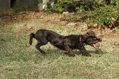 Jeepers, Fetch! (Boykin Spaniel) (billread) Tags: dog sc january charleston 2008 fetch jeepers boykinspaniel billread