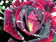 Rose (baltic_86 (mostly off)) Tags: red black flower beautiful rose explore roza blueribbonwinner instantfave baltic86