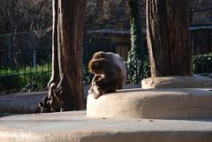 Aspettando la fine/ Waiting for the end (Gargio78) Tags: nature animal animals mammal sadness zoo monkey natura boredom monkeys mammals primate animali animale noia captivity primates tristezza tedium zoological zoologico tedio scimmia scimmie primati mammifero cattivit bioparco mammiferi oxyuranus78