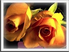 It`s Super Tuesday (mbgrigby) Tags: roses flower yellow ss like somerset supermarket obama i aplusphoto