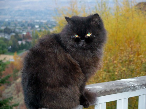 My Purebred Black Persian Cat