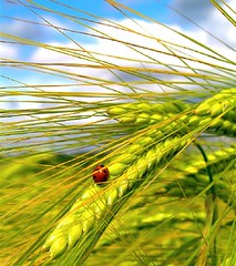 Ladybird and Barley (ombre chimique) Tags: blue red summer england sky sun field barley yellow clouds insect golden farm sheffield olympus spots crop ladybird ladybug agriculture sunlit southyorkshire c765uz ilovemypic thatsclassy redcolorstar colorstars