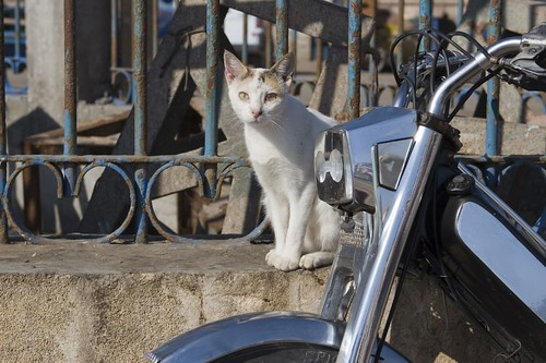 Moroccan Cat 5
